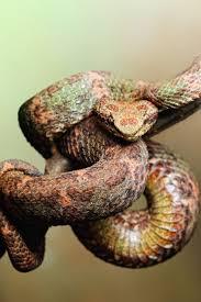 viper essay checker anda plagiat inilah software yang dapat  images about favorite reptiles python eyelash viper male bothriechis schlegelii