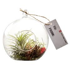 Exotic Angel Plants Air plant