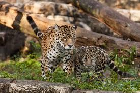 baby jaguar wallpaper. Exellent Jaguar Jaguar Wild Cats Couple Mom Baby Family Wallpaper And Baby Jaguar Wallpaper B