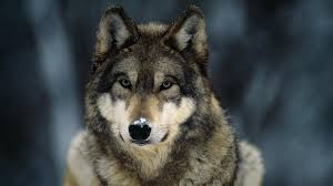 gray wolves are members of the canine family which also includes dogs fo jackals and coyotes