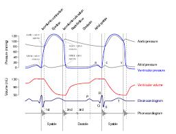 Heart Systolic And Diastolic Chart Systole Wikipedia