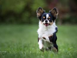 chihuahua running through a field
