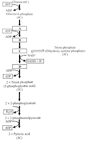 Glycolysis Flow Chart The Flow Chart Given Below Shows The Steps In Glycolysis Select The Option That Correctly Fills In The Missing Steps A B C And D