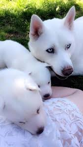 pure white husky with blue eyes. Interesting Husky Siberian Husky Puppies  Pure White Bred Blue Eyes Male And Female Inside With Eyes Gumtree