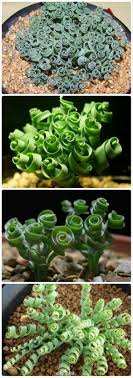 Curly-q succulents! Love it curly succulent - Moraea Tortilis - common name  spiral grass