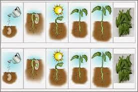 O feijão a já tem umas folhinhas verdinhas a prepararem a saída da semente. Dicas Homeschooling Educacao Domiciliar Infantil Experiencia Ciencias Plantando Feijao No Algodao Material Imprima