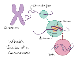 mitosis and meiosis article cells khan academy figure of a chomosome chromatin fiber histones nucleosome