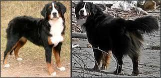 Bernese Mountain Dog Puppy Growth Pets Mountain Dog