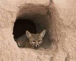 nocturnal desert animals. Modren Desert A Kit Fox Resting In A Wall Of The Casa Grande And Nocturnal Desert Animals