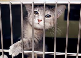 humane society kittens. Plain Society Out Of Curiosity A Cat Peers Out Cage At The Central Nebraska Humane  Society Due To An Abundance Cats And Kittens Shelter Is Running  On Society Kittens P