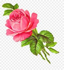 pink rose single wallpaper hd digital