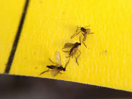 Fungus Gnats Attracted To Light Adult Fungus Gnats Are Attracted To Bright Colors