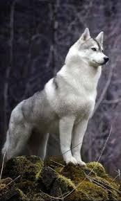 white husky wolf mix. Brilliant Wolf Looks Like A Malamute Husky Wolf Hybrid I Want This Dog So Bad In White Husky Wolf Mix F