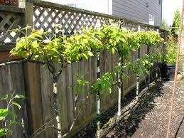 Espalier Fruit TreesGrowing Cordon Fruit Trees