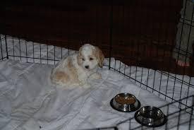 kapoo puppies for in texas goldenacresdogs