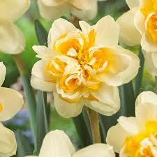 van zyverden daffodils bulbs peach cobbler set of 12