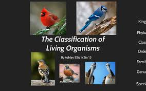 Blue Jay Robin Cardinal Finch And Pelican Taxonomy Chart The Classification Of Living Organisms By Ashley Ellis On Prezi