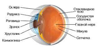 Картинки по запросу строение глаза