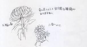 日本の花菊の描き方 イラストの描き方ねっと