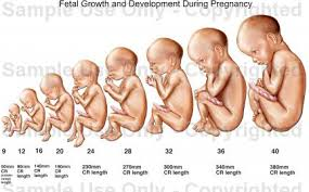 Baby Pregnancy Growth Chart Natural Henna Hair Dye Pregnancy