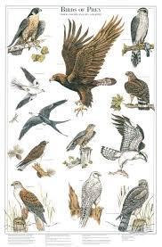 Birds Of Prey Ii Identification Chart Bird Identification