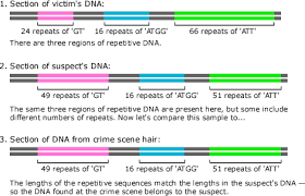 evolution at the scene of the crime comparing lengths of repeating dna