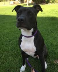 black and white pitbull boxer puppies. Exellent Black Boxer Pit Mix Intended Black And White Pitbull Puppies U
