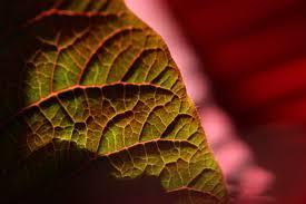 Weihnachtsstern Pflanze Wikiwand