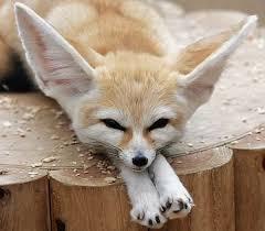 fennec fox. Fine Fox Fennec Fox Vulpes Zerda  For P