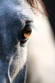 präputium pferd