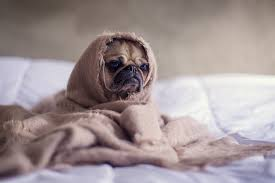 the virus can be transmitted by a sneeze up to 20 feet and live for 24 hours if your dog is sneezing coughing running a fever has a runny nose or is