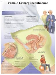 Female Urinary Incontinence Anatomical Chart
