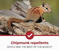 how to keep chipmunks out of garden. Brilliant How Best Chipmunk Repellents With How To Keep Chipmunks Out Of Garden T