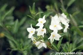potato vine flower.  Flower Potato Vine Care With Potato Vine Flower Joy Us Garden