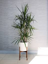 tall office plants. Contemporary Plants The Best Trees And Big Plants To Grow In Your Living Room Inside Tall Office Plants U