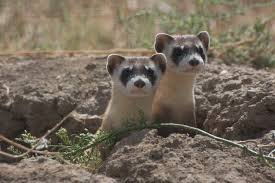Ferrets And Prairie Dogs And Bison Oh My Defenders Of
