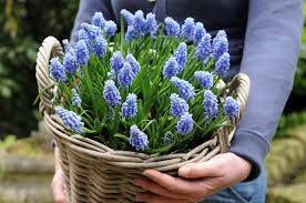 grape hyacinth bulbs. Wonderful Bulbs Muscari Grape Hyacinth Spring Bulbs Flowers Mid Spring Bulb  Blue  In Hyacinth Bulbs Y
