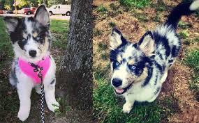 australian shepherd husky mix puppies. Australian Shepherd Husky Mix With Puppies How To Train Your Dog