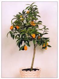 What  Kumquat Growers  Fresh Florida KumquatsKumquat Tree Not Bearing Fruit