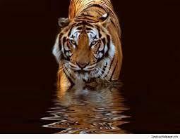 Mobile 3d Wallpaper Tiger – WallpaperShit