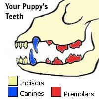 Πότε αποκτούν δόντια τα κουταβάκια;