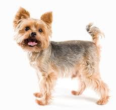 yorkshire terrier haircuts. Plain Yorkshire Yorkieschnauzercut And Yorkshire Terrier Haircuts S