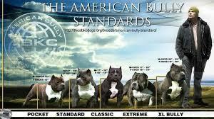American Bully Standards Bully Dog American Pitbull