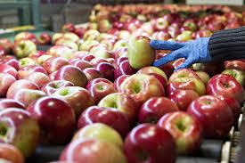 a worker sorts honeycrisp apples at the jack brown produce ng facility in sparta michigan