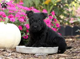 scottish terrier puppies. Modren Terrier Inside Scottish Terrier Puppies R