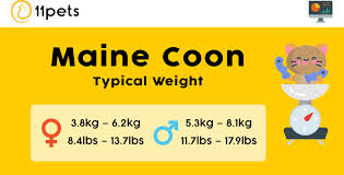 Typical Weight For Your Maine Coon Cat 11pets Pet Care App