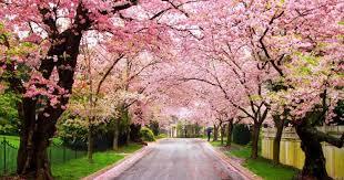 Bunga Sakura Inilah Tempat Tempat Alternatif Selain Jepang Untuk Nikmati