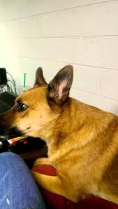 german shepherd coyote mix. Exellent Coyote Howling With Penny The Possible German Shepherd Coydog And Coyote Mix