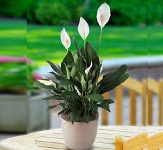 Light For Peace Lily