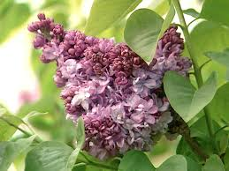 Lilacs In Landscape Design How To Plant And Care For Lilacs Hgtv